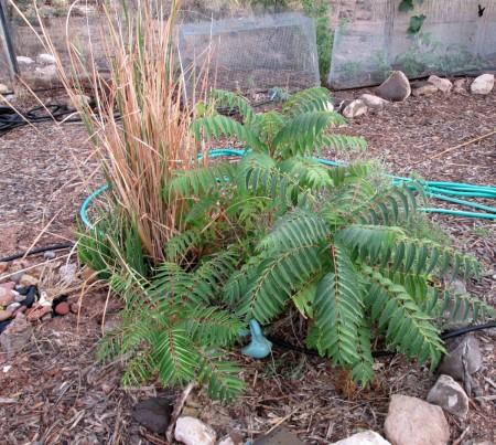 9-8-13--Chinese-sumac-lower-garden