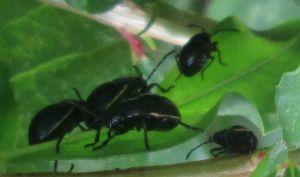 6-14-14--black-beetle
