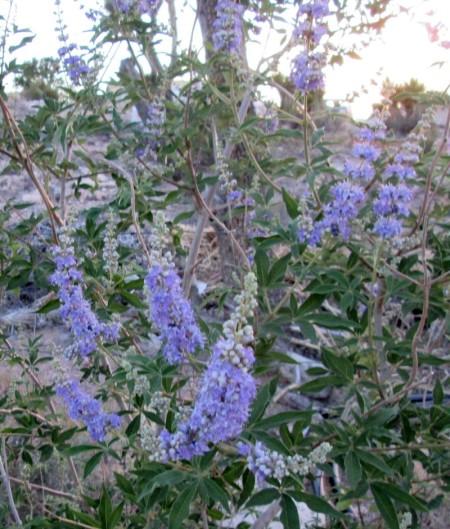 6-14-14-chaste-tree-flowers