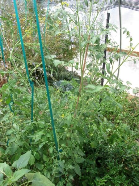 6-14-14-tomatoes
