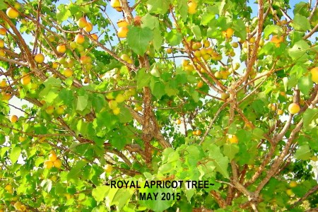 2015-5--RoyalApricot