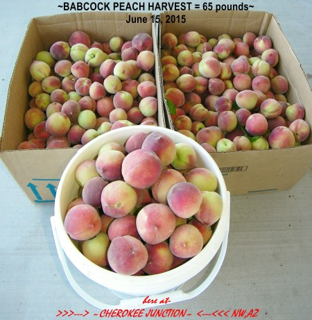 2015-6--Babcock-Peaches-harvest