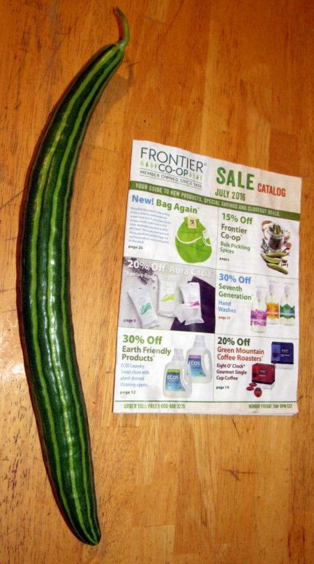 2016-7-21-first-Armenian-cucumber
