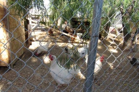 chickens-willow