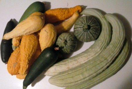 8-10-16-squash-Armenian-cucumbers