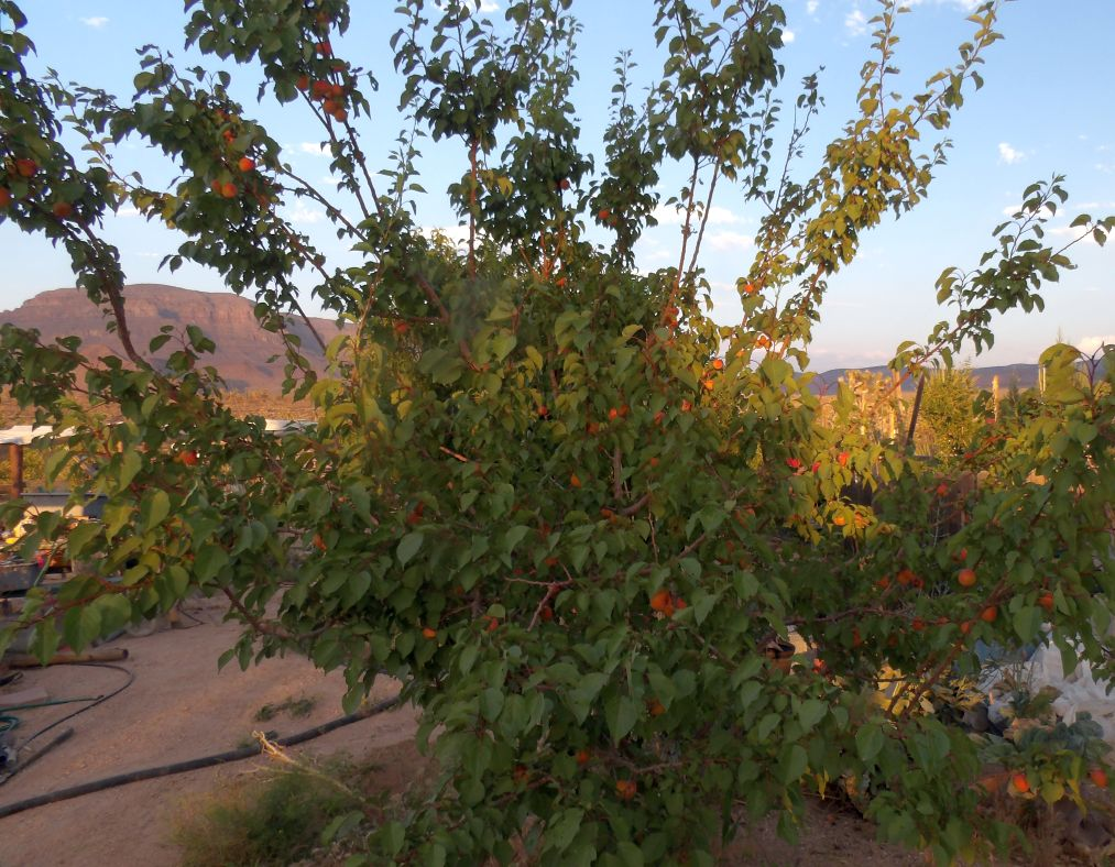 Neglected Nectarine Tree